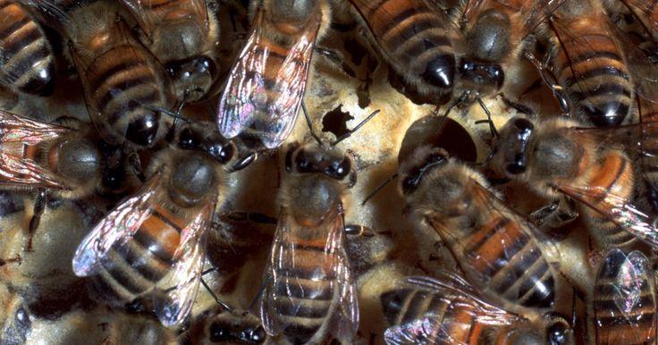 Cómo atraer un enjambre de abejas. Atraer y atrapar un enjambre de abejas es un paso necesario para establecer una colonia de apicultura. Cuando las abejas forman un enjambre éstas se encuentran en busca de una nueva colmena y, esencialmente, no tienen hogar. Usar una feromona de imitación o un atrayente es una manera fácil de atraer al enjambre hacia tu colmena de apicultura.