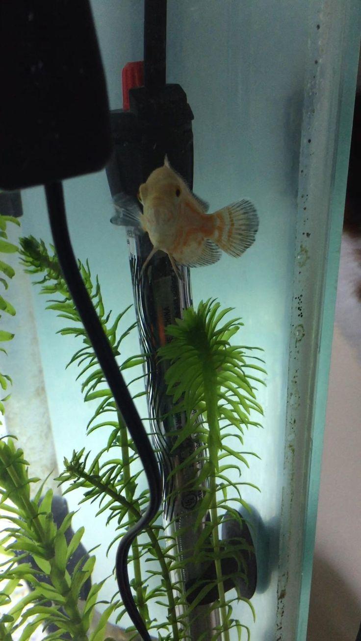 Freshwater aquarium fish brisbane - So I Recently Setup A 55 Gallon Aquarium Problem Is That I