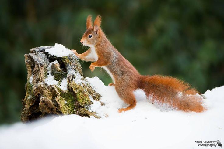 koud die sneeuw - Zoogdieren (bever, vos, muis) - Eekhoorn