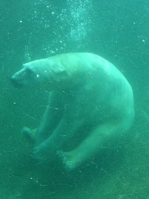 Polar bear, Point Defiance Zoo, Tacoma WA, 04/18/04 by photophonic, via Flickr