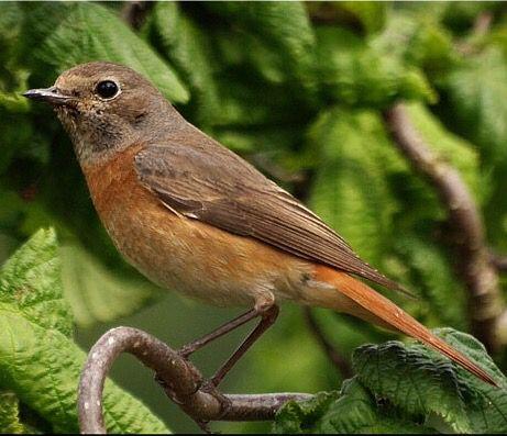 Rødstjert (Phoenicurus phoenicurus) ~ female.