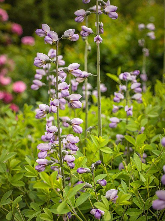 58 Best Images About Plants Perennial On Pinterest