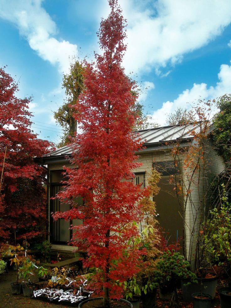AP 'Tsukasa' is an extreme upright-growing, vigorous tree that fits into small gardens even at 20', since it will be just 4' wide. Little else is known about this rare maple, except that it is a member of the Amoenum  subspecies of Acer palmatum, having large, finely-toothed leaves that are shallowly to moderately divided. Summer:  bright green, Fall: brilliant red (shown).  4x20' in 10.