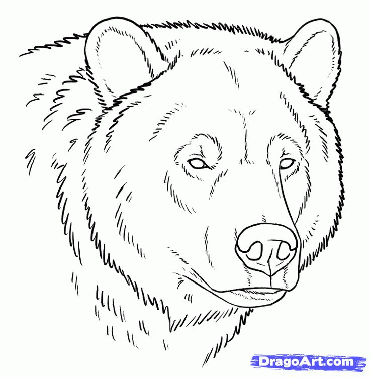 Line Drawing Animal Face : This tutorial about grizzly bears starts with three head
