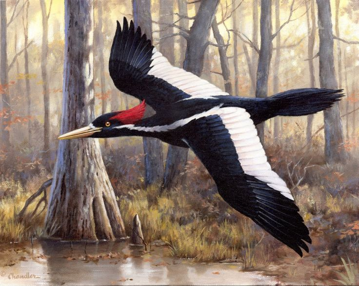 Pin by Edac2 on Ivory-billed Woodpecker | Pinterest