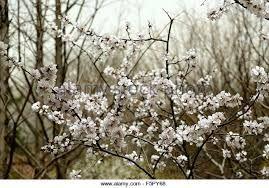 Image result for prunus mume white