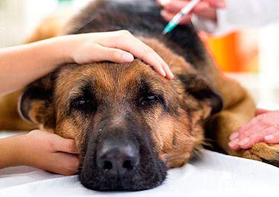 La torsión de estómago en perros es un problema mucho más común de lo que uno puede imaginar, tanto que quizás nuestro perro pueda padecerla en alguna ocasión. Por eso es muy importante saber en …