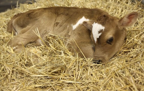 The public named this day-old Jersey Dairy calf John Wayne. It was on display at the Birthing Center on March 16th. Photo Mayra Beltran / Houston Chronicle