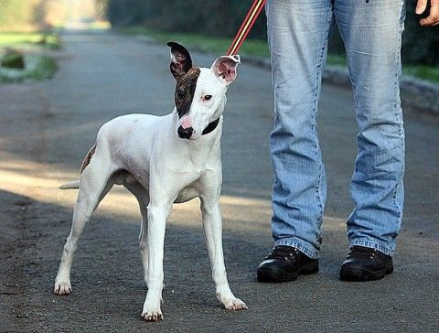 mix? 15 month old male Whippet cross English Bull Terrier ...
