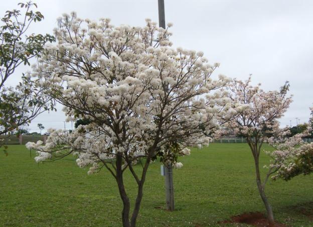 Uma linda tarde de domingo com essas flores do ipê branco lindas Nome Científico: Tabebuia roseo-alba Sinonímia: Bignonia ro...
