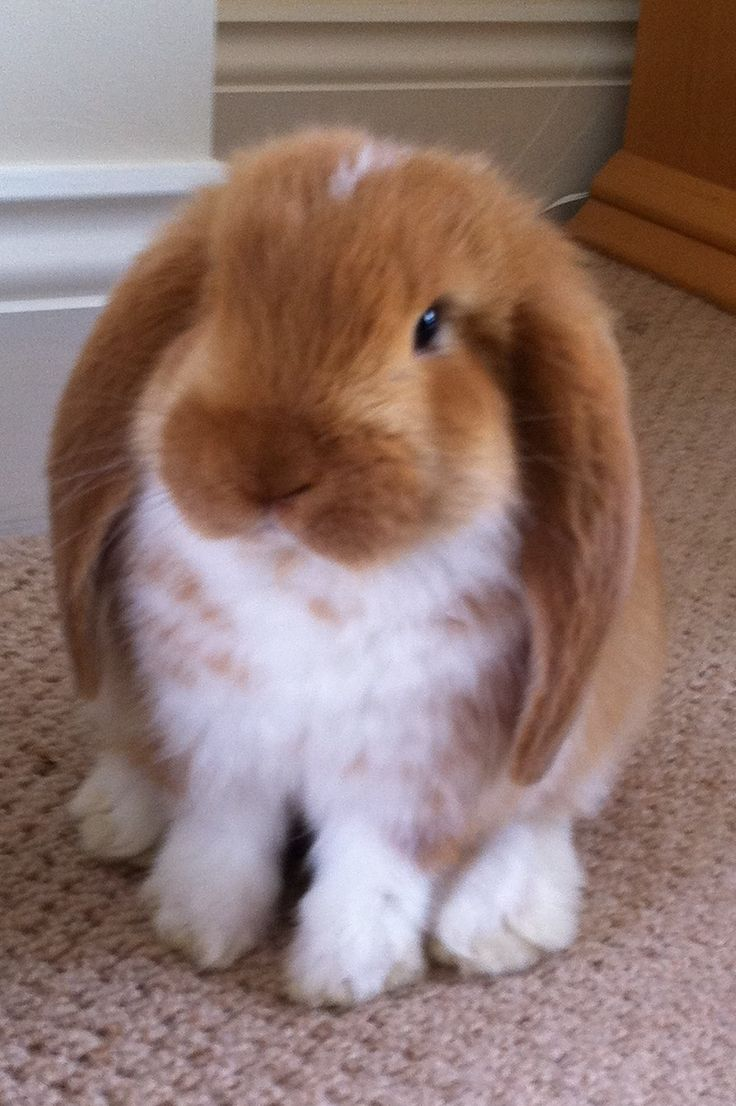 Lop ears are the best bunnies hopefully my mom will let me get my Holland lops soon>.