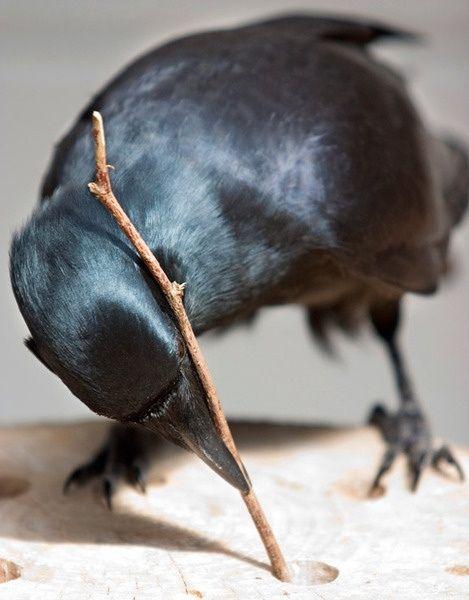 Bird using a stick as a tool