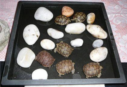 Site d'information destiné à la tortue terrestre, tortue de terre Graeca, Herman, tortue de terre : Incubation et naissances