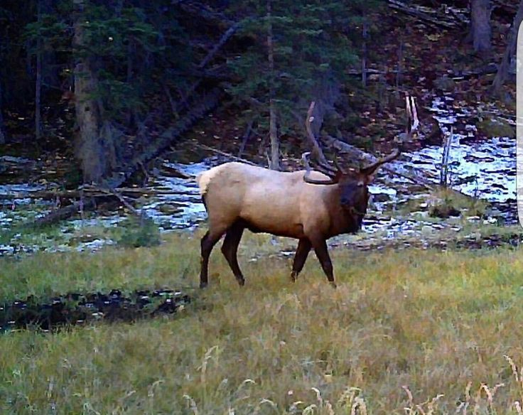 Bull elk in the clearing