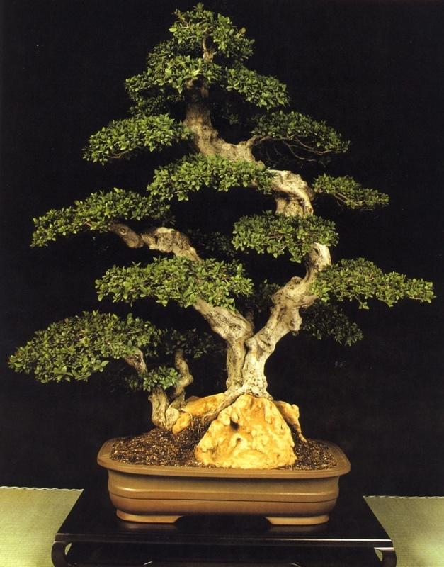 myrtus bonsai 20 best MYRTE images on