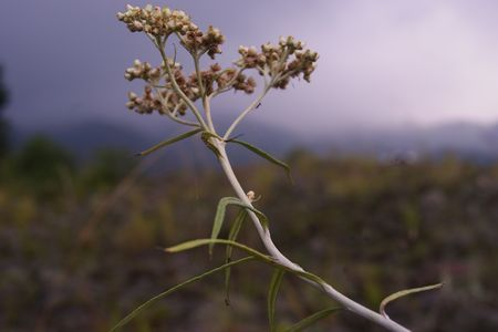 lonely edelweiss Photo by dyan wiwoho -- National Geographic Your Shot