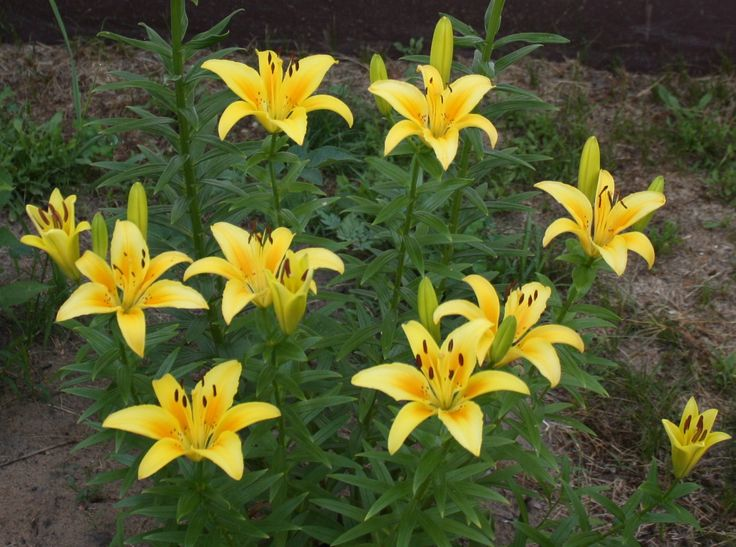 how to cut lilies from the garden