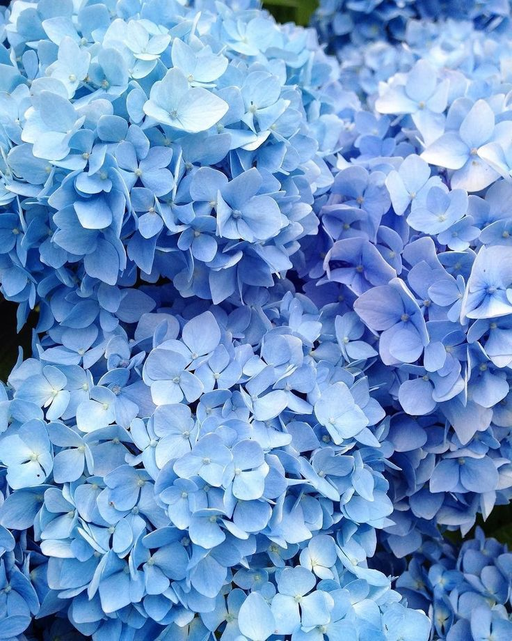 Stop And Smell The Hydrangeas Dhcblue Via Cornishbluebelle Light Blue Aesthetic Blue