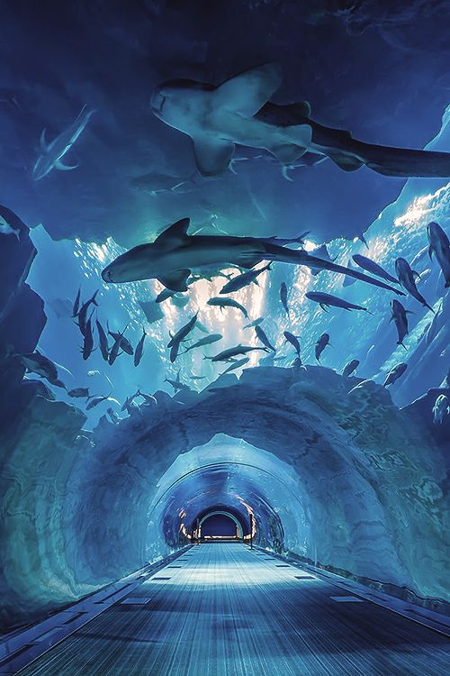 screamyourlungs0ut:  reals:  Dubai's Aquarium Tunnel | Photographer  Cute.   #aquarium #水族館おぉ...これどこだ?日本かな?...行きたい。