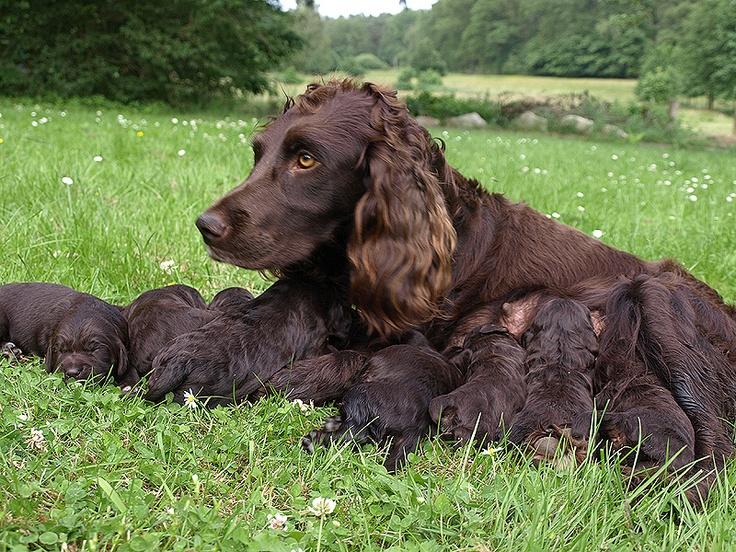 German Spaniel (Deutscher Wachtelhund) | German Spaniel ...