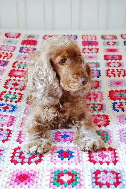 Cocker Spaniel. And it's on a granny square blanket!!!