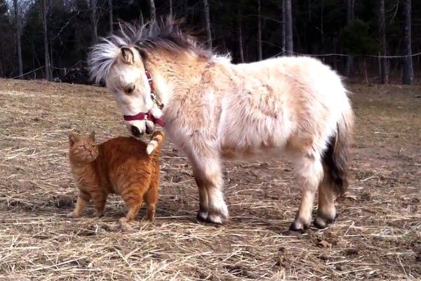 mango the cat | Piper the mini horse baby meets Mango the cat, a real life Garfield ...