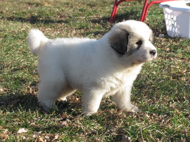 how to train a great pyrenees puppy