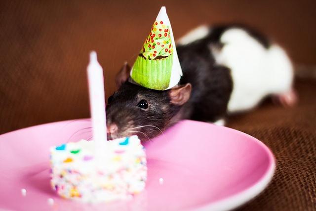 Сентября, открытка тебе в день рождения с крысами