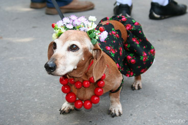 Dachshunds march in Crakow