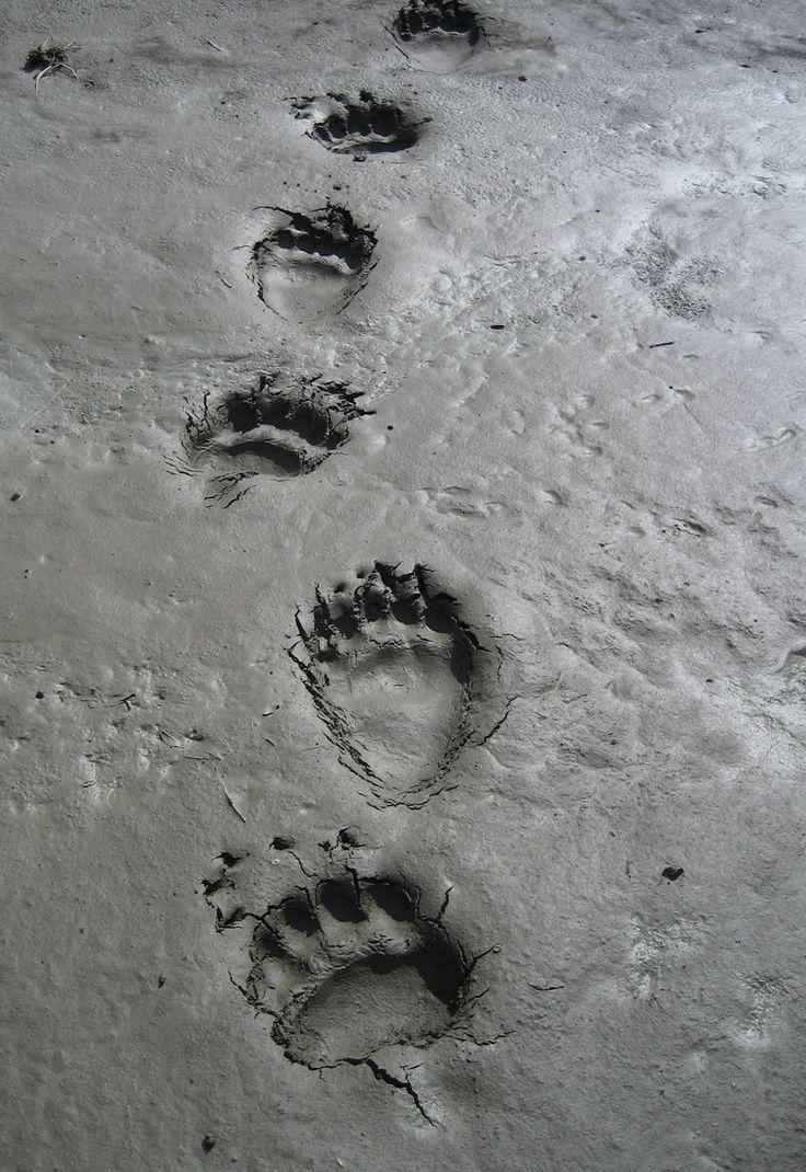 след охотника для знаком каким медведя является