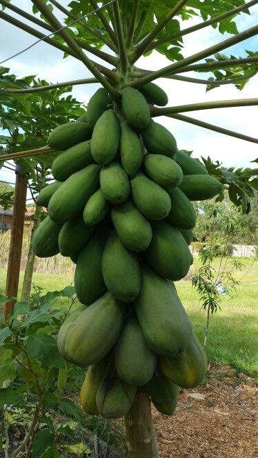Growing your own Papayas from seed is as easy as dropping the seeds in the ground and watching them grow.  This tree is only 18 month old and is fully loaded with fruit! How easy is that!? I think if you live in South Florida it should be illegal not to grow them :)