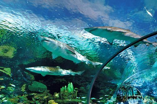 Ripleys Aquarium of the Smokies in Gatlinburg, Tennessee. See the sharks up close.  #Vacation #Gatlionburg #Smokymountains