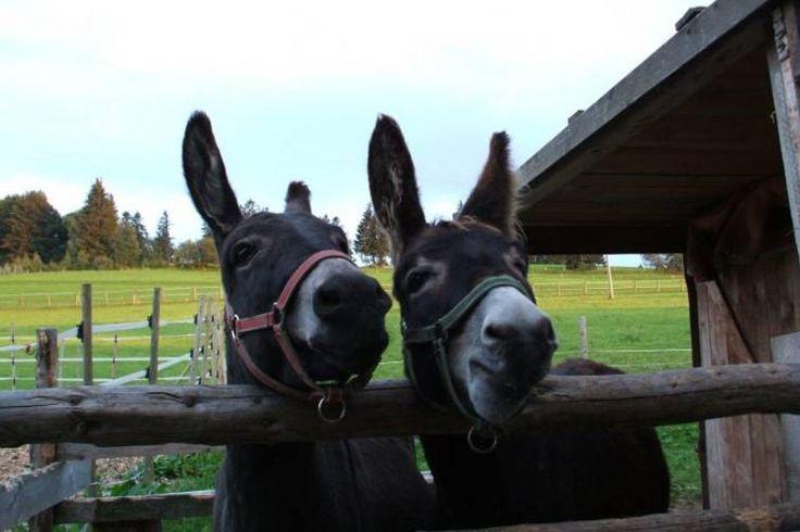 Lucy und Max vom Ferienhof Schall freuen sich auf Euch! Herrliche Urlaubstage auf dem Ferienhof Schall im Allgäu verbringen. Ausgezeichnet mit dem Gütesiegel #QualitätsgeprüfterUrlaubsbauernhof und #QualitätsgeprüfterReiterhof ist der Ferienhof ein wahres Paradies für Pferdeliebhaber und Bauernhofliebhaber! #BlauerGockel