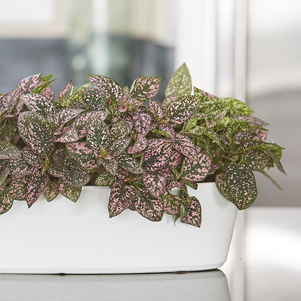 21 Best Images About Colorful Houseplants To Decorate Your