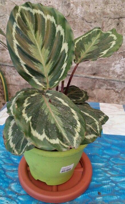 """"""" Calathea Veitchiana 'Medallion' """" *La Calathea medallion es una planta de extremada belleza. Sus hojas de color verde oscuro tienen un diseño distintivo en la parte superior y son de un color granate intenso en la parte inferior. Como es una planta tropical que ama el calor y la humedad, crecerá en el exterior sólo en climas muy cálidos y húmedos. A menudo se cultiva en interiores. *Coloca la Calathea medallion en un lugar con poca luz solar filtrada. Evita la exposición directa y las…"""