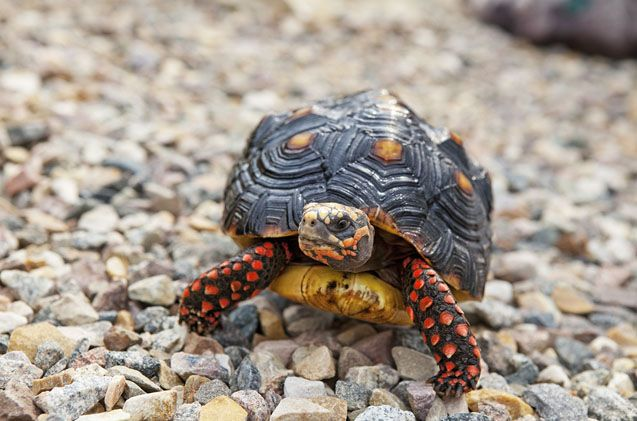 The Red Footed Tortoise is one of the most popular tortoise breeds kept as pets.