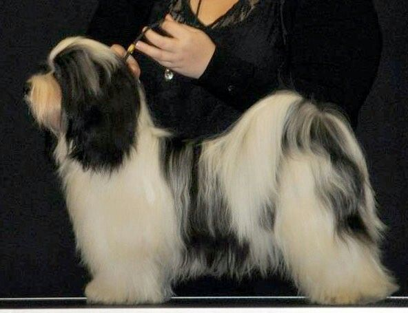 Havannan koira.
