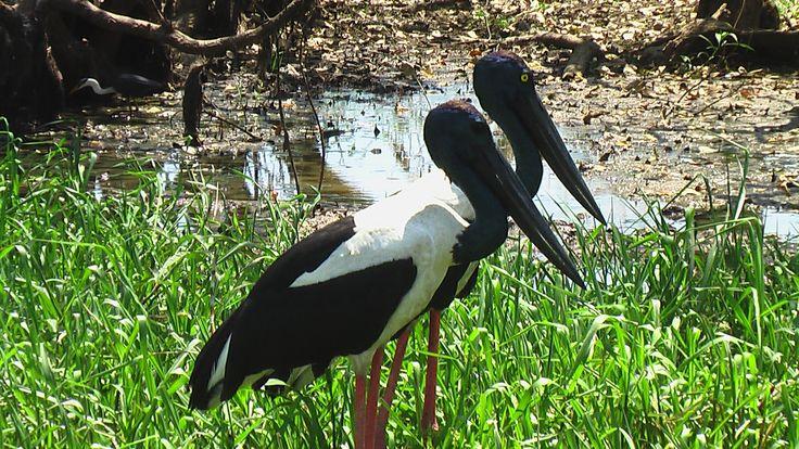 "Partners For Life Jabiru ""Jesus Bird"" Yellow Waters Kakadu National Park Northern Territory. Photography by me!"