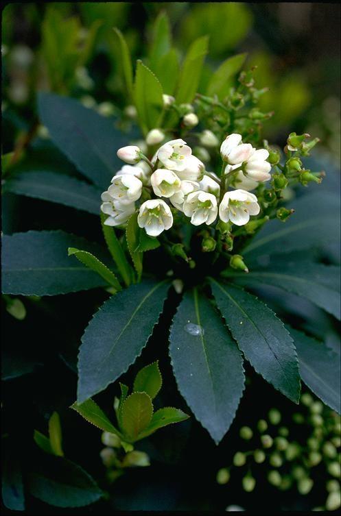 27 best tasmanian native flora images on pinterest