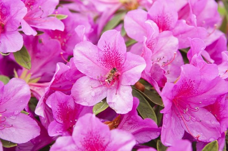 List of Dwarf Azaleas (with Pictures) they would look nice tucked in around the pond. There are many varieties to choose from.