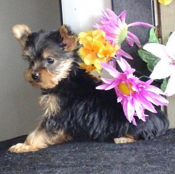 Yanna A Yorkshire Terrier Puppy Yorkshireterrierpuppies