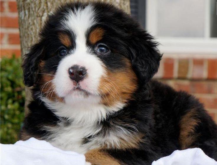 lovely Berner pup