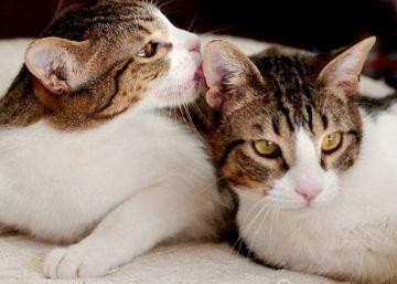 Enfermedades de gatos: Clamidiasis