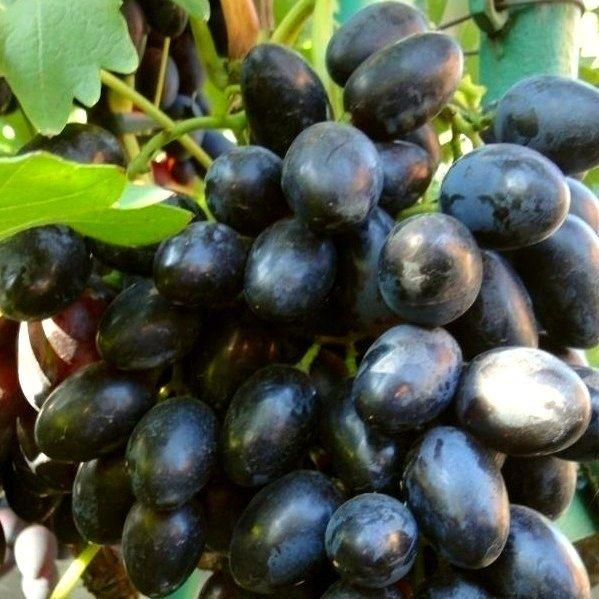 "Семена, саженцы ВИНОГРАД ""ЧЕРНОЕ ЗОЛОТО"" (Black Gold Grapes)"
