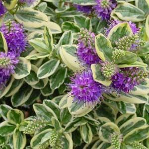Buy Cheap Hebe Plants Online : Online Garden Centre : Hebes For ...