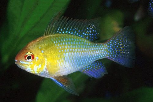 South american cichlids list - photo#13