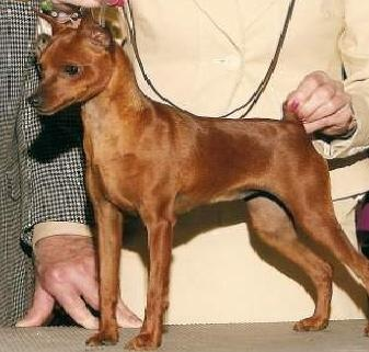 miniature pinscher for sale syracuse ny - photo#18