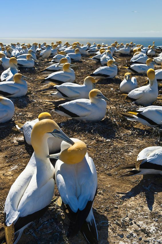 New Zealand Travel Inspiration - Cape Kidnappers Gannet Reserve, Hawke's Bay, near Napier, North Island, New Zealand