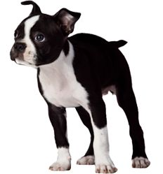 Boston Terrier Breeders Florida | Boston Terrier Puppies For Sale in Florida | 386.344.3074