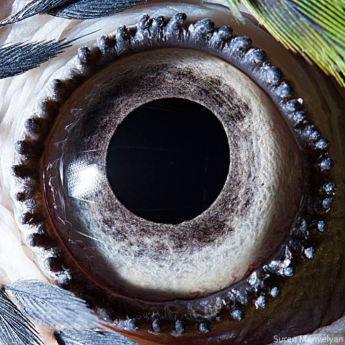 Blue-yellow macaw parrot eye   Suren Manvelyan